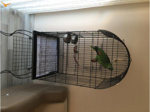 Mavi Alınlı Amazon Papağanı