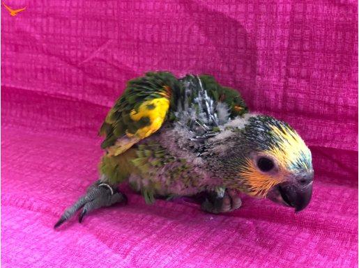 Amazon papağan California blue front
