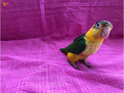 CAİQUE papağan el besleme bebekler
