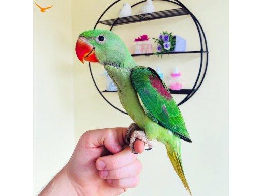 Bebek Alexander Papağanı