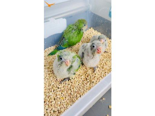 El besleme Bebek Monk Papağanları