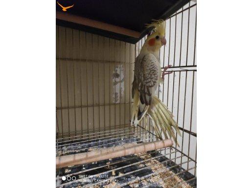 Sahiplendirilecek yawru sultan papağanı
