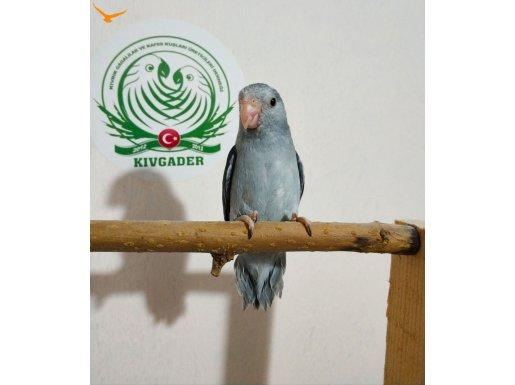 Mutasyon nadir renkte forpus papağanı yavruları