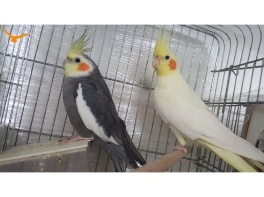 Tecrübeli , Bakıcı Takım Sultan Papağanı