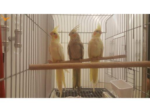 Ev Üretimi Sultan Papağanı Yavruları