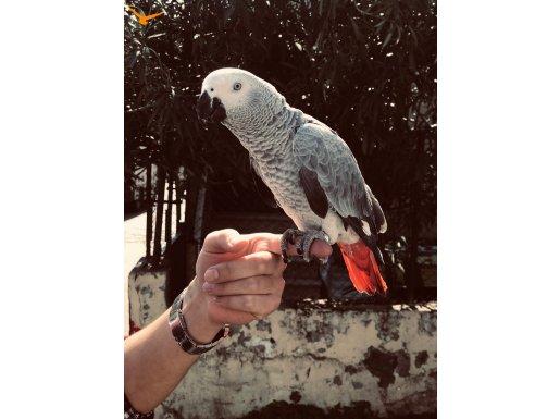 Yavru jako papağan şakir