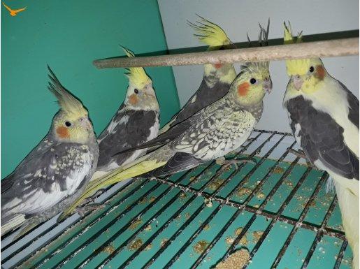 Ev üretimi sultan papağan