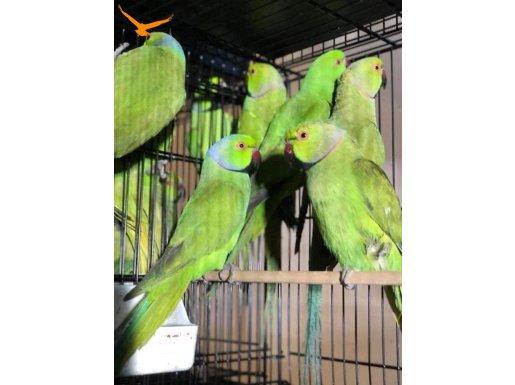 Yerli uretim pakistan papagani