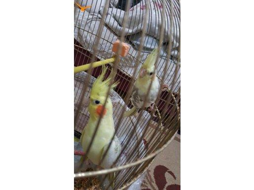 6.aylık sultan papağını  çift  satılıktır Kafesi ile beraber