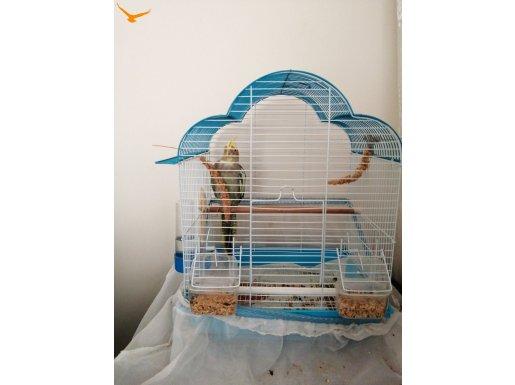 Sultan papağanı dişi satılık yada erkek le takas