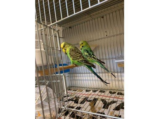 Show Jumbo Kuşlarım