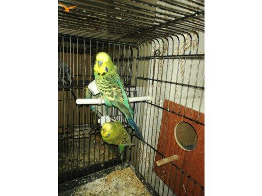 Uygun fiyattan muhabbet kuşları bulunur.
