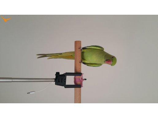 Yavru Pakistan Papağanı