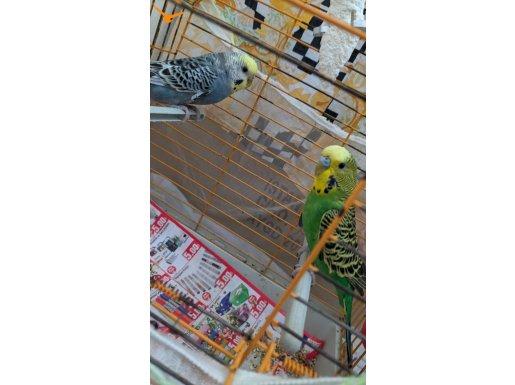 Uygun fiyata 1 dişi 1 erkek muhabbet kuşu
