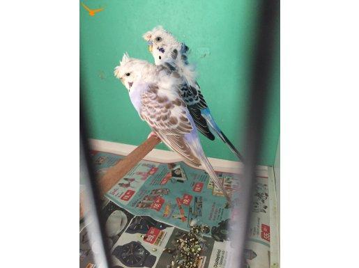 Genç çift muhabbet kuşu gayet sağlıklı