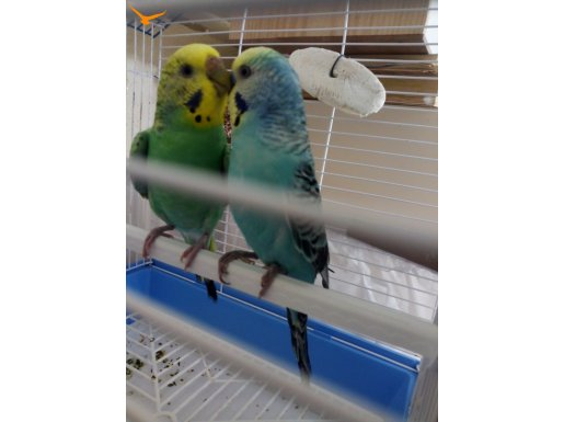 Mutasyon muhabbet kuş çift