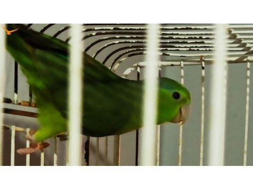 Dişi forpus papağanı