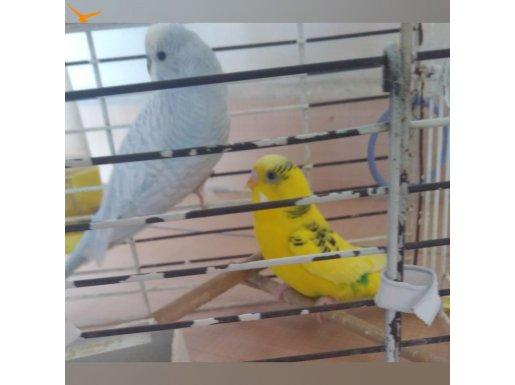 Evcil muhabbet kuşları