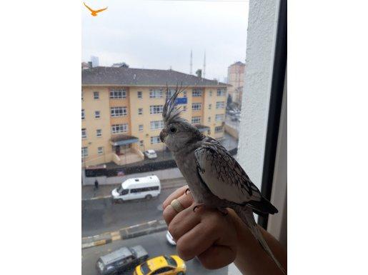 Yavru sultan papağanı