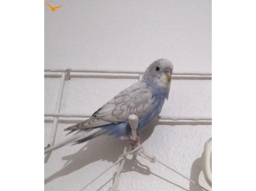 Spangle Muhabbet Kuşu