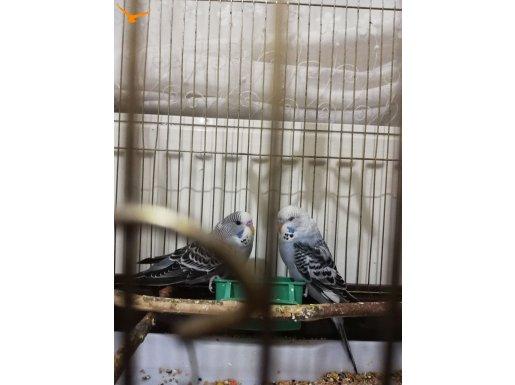 Sağlıklı muhabbet kuşları