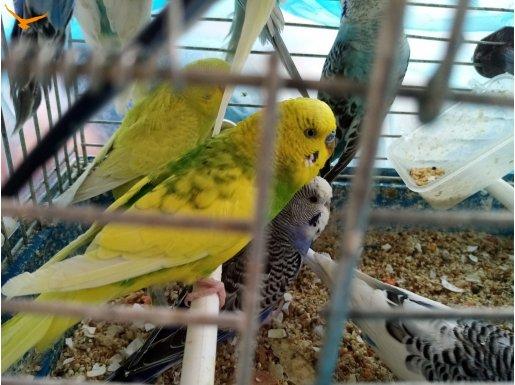 Üreticiden her çeşit muhabbet kuşları