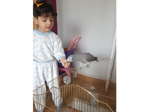 Satılık 1 yaşında jako papaganı