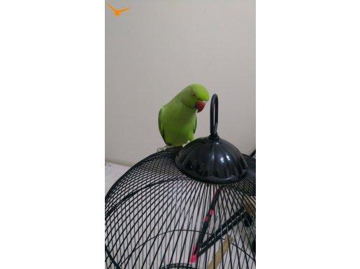 Pakistan papağanı sahiplenmek isteyen