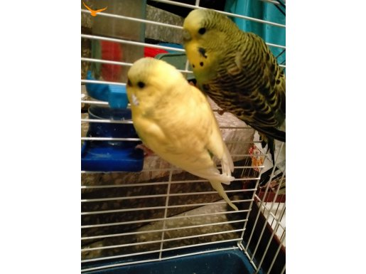 Muhabbet kuşu 2 tane dışı