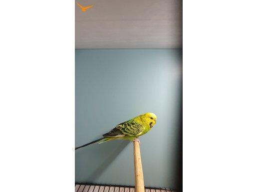 Kızgın Dişi Temiz Bakımlı Ev Kuşu