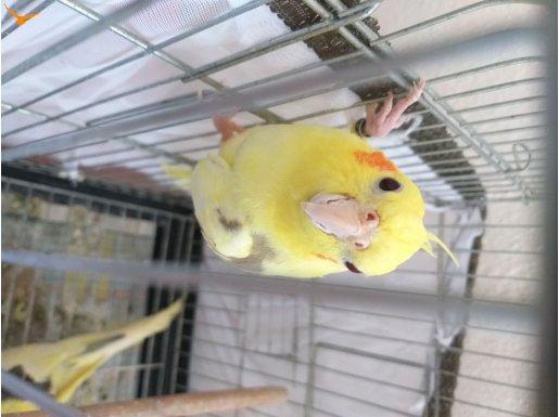 Evcil çift sultan papağanı acil satılıktır