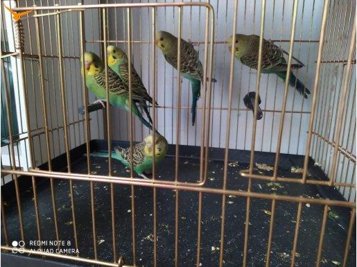 Muhabbet Kuşu Yavruları (12 Adet)