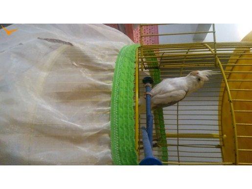 Beyaz Gri Sultan Dişi