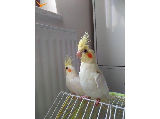 Sevecen ve kolay eğitilir kardeş papağanlar..