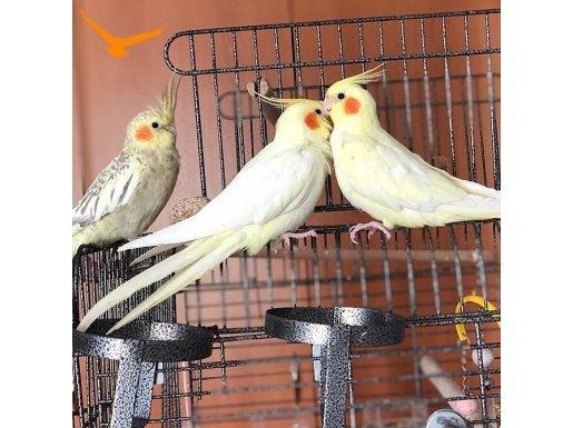 5 aylık sultan papağanı Ç İ F T  (3'ü değil)