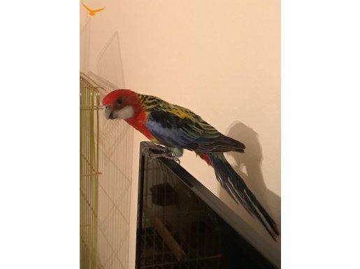Rozella Papağan
