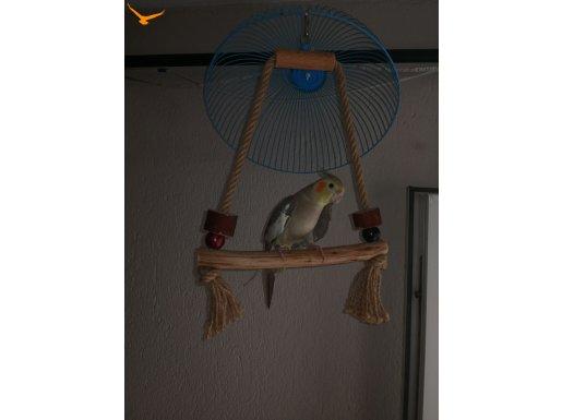 sultan papağını