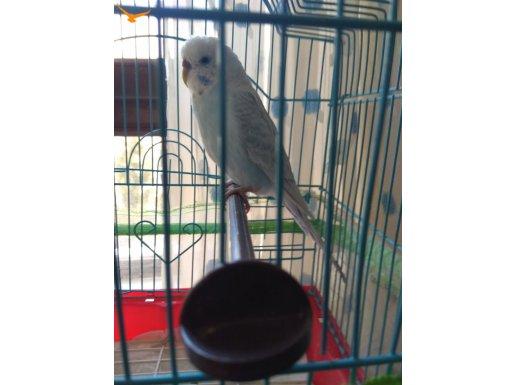Dişi Muhabbet Kuşu (1 yaş)