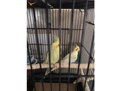 KALİTE ...Ele kola alışkın bir çift sultan papağan