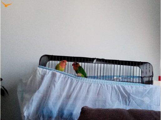 Çift papağan