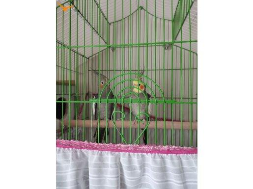 1 Çift damızlık ve 1 tane yavru sultan papağanı