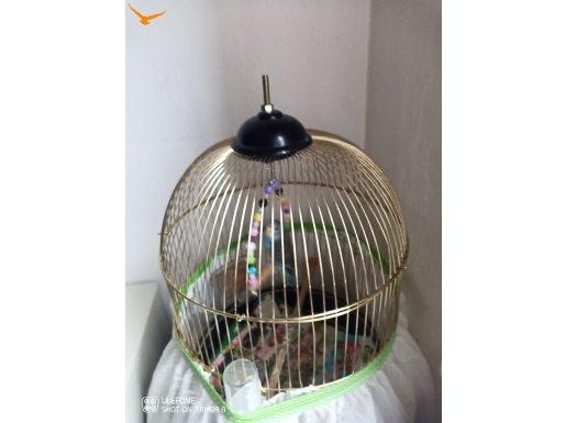Muhabbet kuşu KAFESİ ve biri yeşil  dişi çift