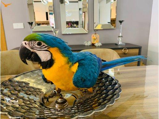 Ara macaw papağanı
