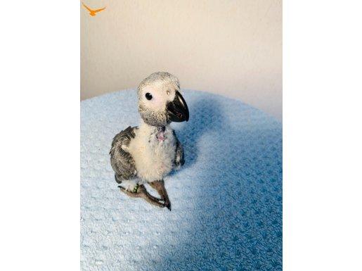 Jako papağanı sağlıklı harika büyüdü