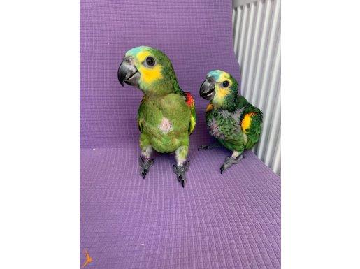 Amazon papağanı yavrusu