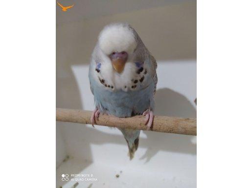 Muhabbet kuşu özel renkler